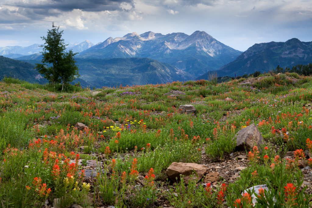 Timpanogos-Wildflowers-071513